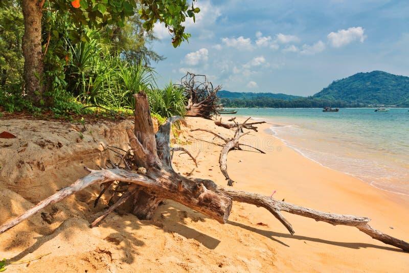Tronc d'arbre mort sur la plage image libre de droits