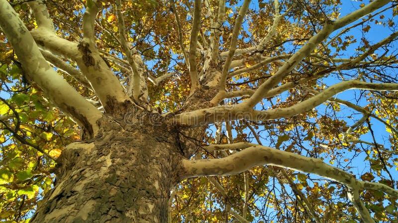 Tronc d'arbre plat avec les branches et le feuillage d'automne image libre de droits