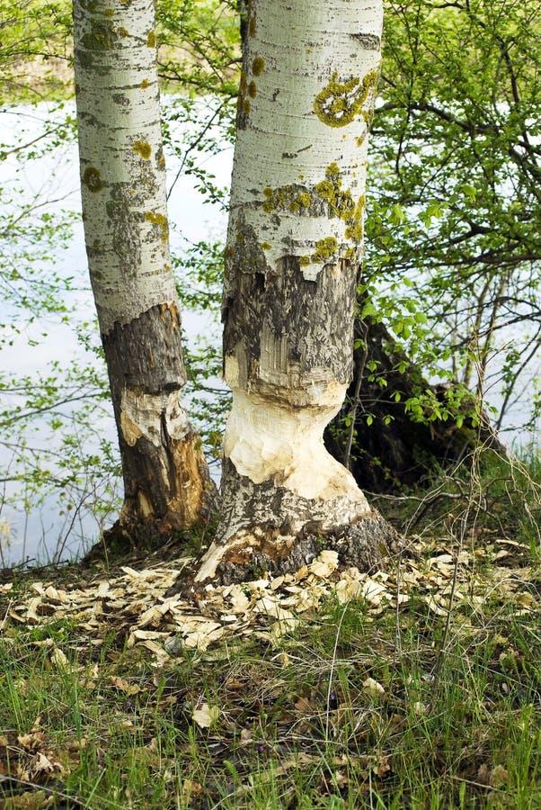 Tronc d'Aspen rongé par des castors images stock