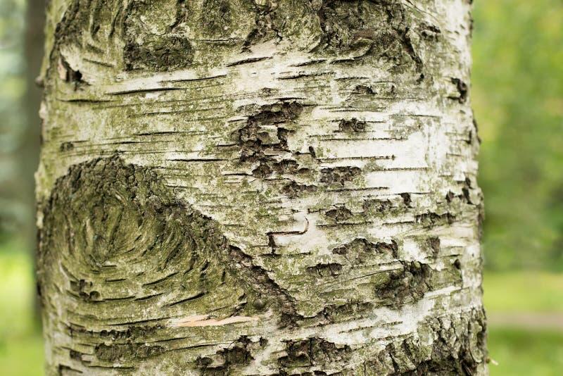tronc d 39 un arbre de bouleau photo stock image du bouleau am nagement 53654874