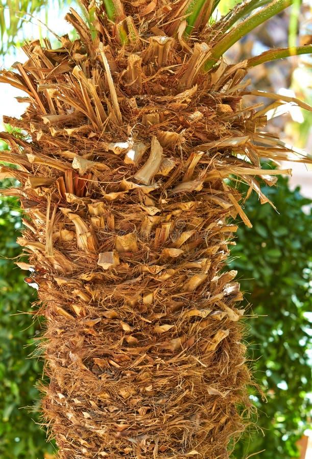 Tronc d'un palmier photo libre de droits