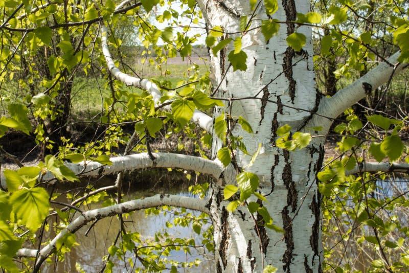 Tronc de bouleau blanc avec les feuilles vertes sur le fond de l'?tang photo stock