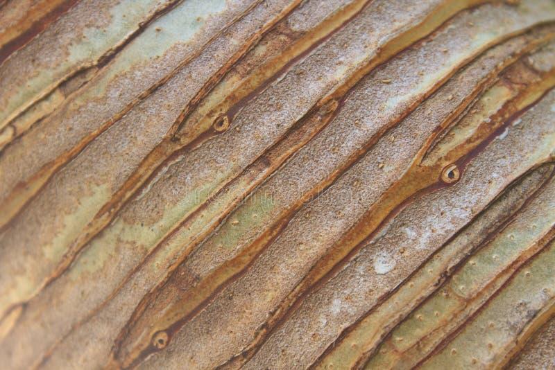 Tronc de fond et de texture d'arbre de Dracaena image libre de droits