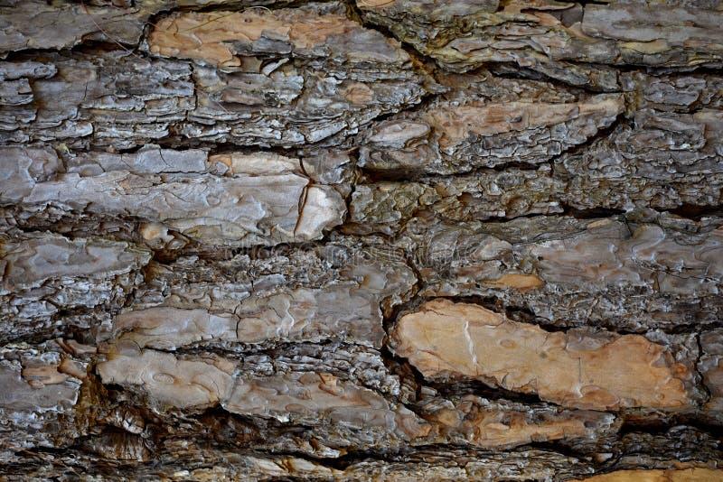 Tronc de fond naturel de texture d'écorce d'arbre photos libres de droits