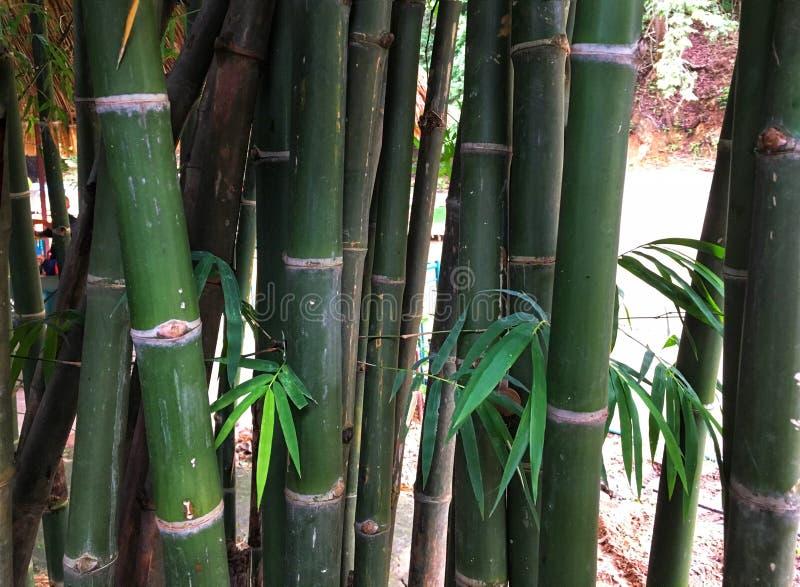 Tronc en bambou vert dans la forêt photographie stock