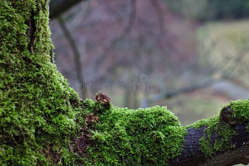Tronc et branche d'arbre envahis avec de la mousse verte images stock