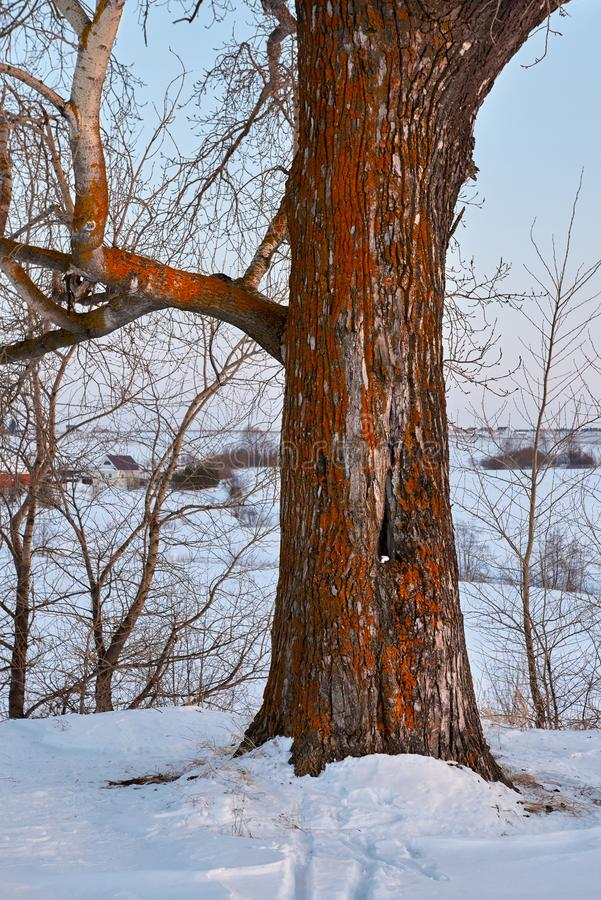 Tronc et branches de peuplier sur le fond de ciel bleu au printemps image stock