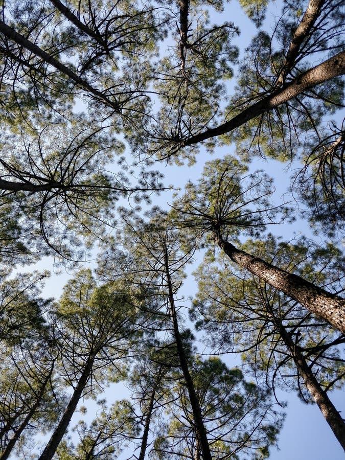 Tronc et couronne des pins de la base des arbres image libre de droits