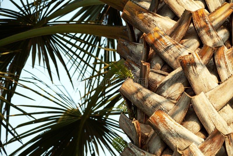 Tronc et feuilles de palmier à la lumière du soleil contre le ciel bleu photo stock