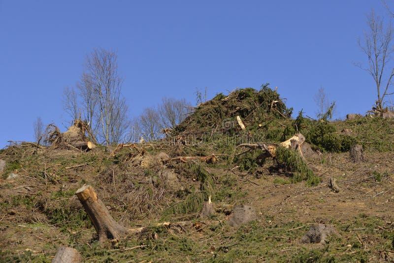 Tronchi attillati nella foresta immagine stock libera da diritti