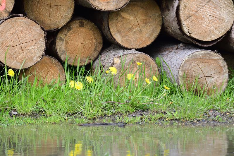 Tronchi attillati nella foresta in sassone fotografie stock libere da diritti