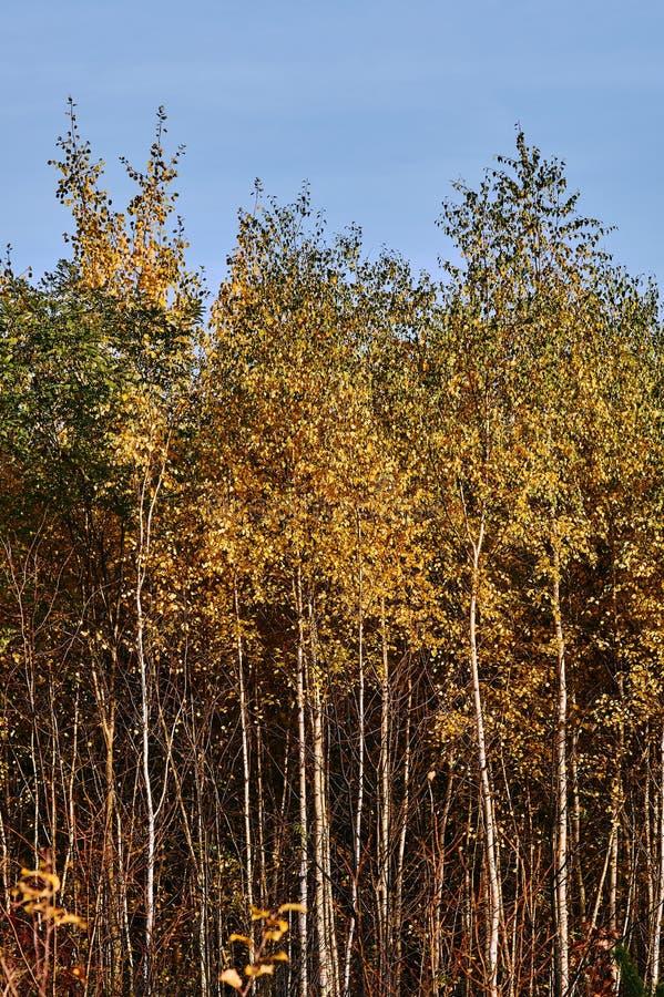 Tronchi bianchi degli alberi nel boschetto della betulla fotografie stock libere da diritti