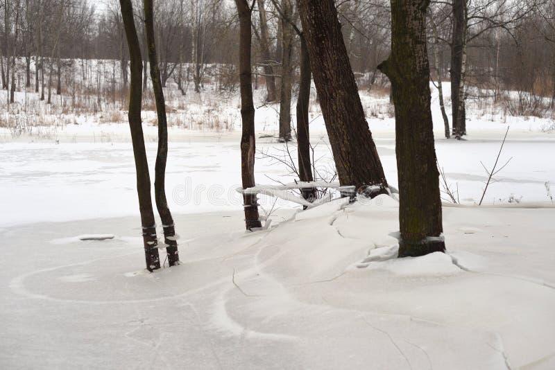 Tronchi degli alberi all'inverno immagine stock