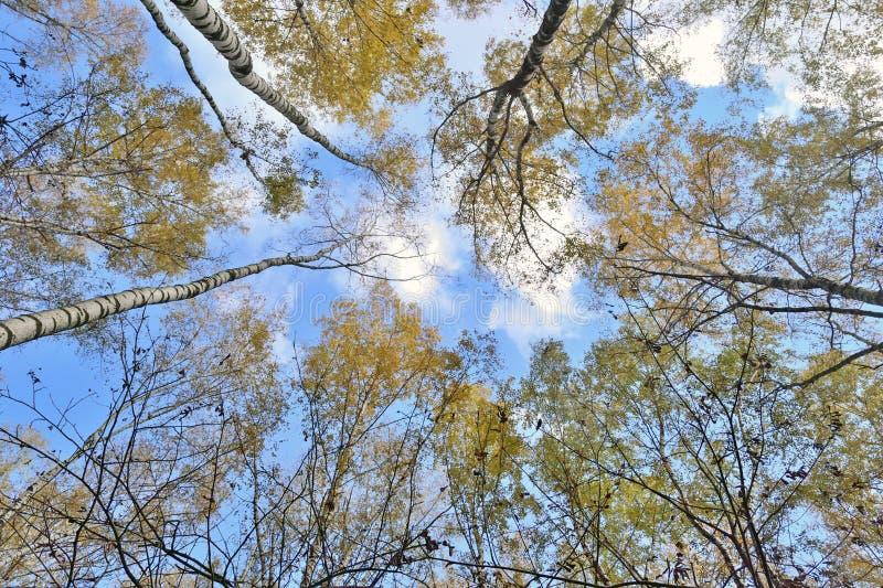 Tronchi degli alberi con le foglie gialle contro il blu immagini stock libere da diritti