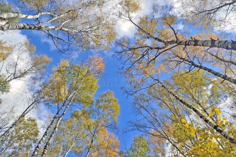 Tronchi degli alberi con le foglie gialle contro il cielo blu immagini stock
