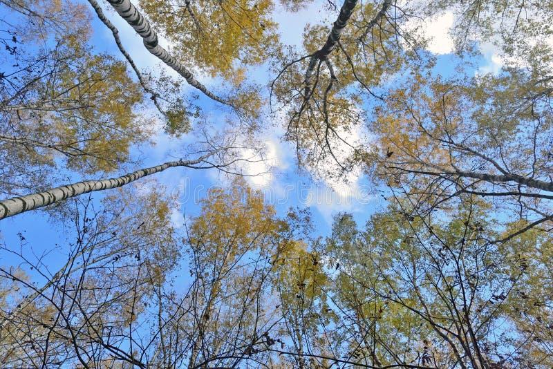 Tronchi degli alberi con le foglie gialle contro il cielo blu fotografia stock