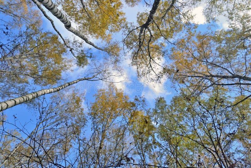 Tronchi degli alberi con le foglie gialle contro il cielo blu immagine stock libera da diritti