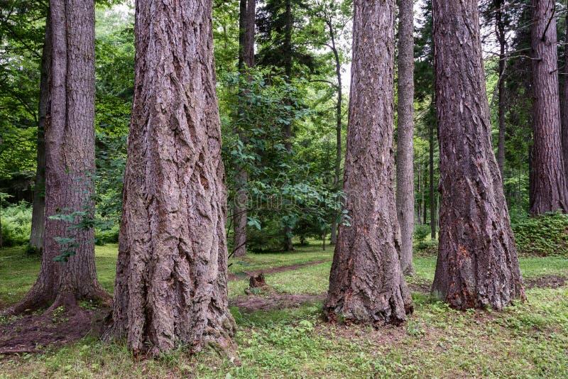 Tronchi degli alberi del diametro molto grande fotografie stock