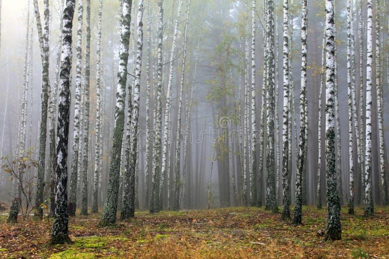 Tronchi degli alberi di betulla nella mattina di autunno in tempo nebbioso fotografia stock