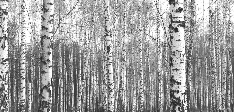 Tronchi degli alberi di betulla, sfondo naturale in bianco e nero fotografia stock