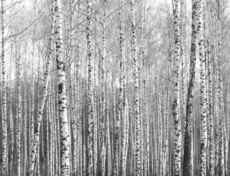 Tronchi degli alberi di betulla, sfondo naturale in bianco e nero fotografie stock libere da diritti