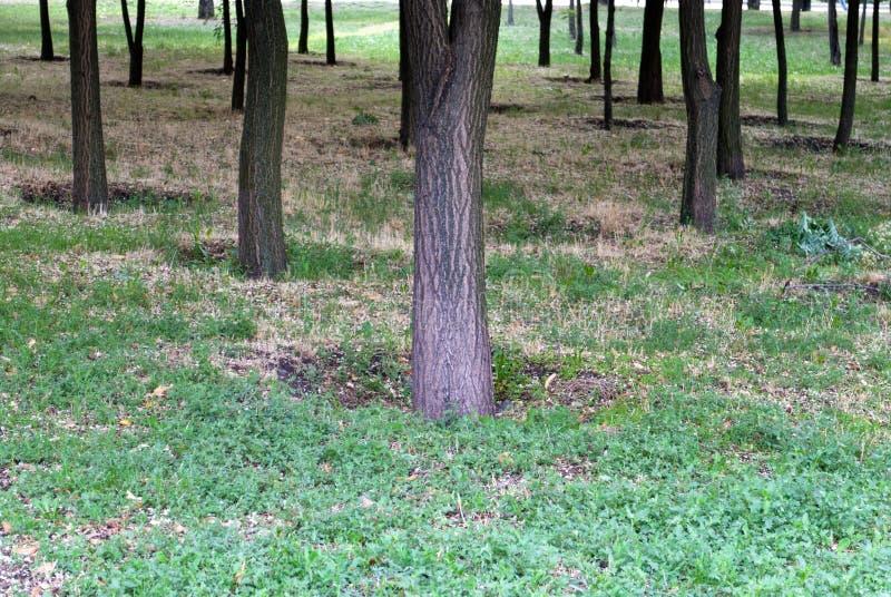 Tronchi degli alberi nel parco, su un fondo di erba verde, un gruppo di alberi fotografia stock libera da diritti