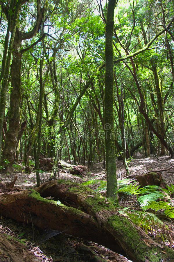 Tronchi degli alberi in una foresta dell'alloro fotografia stock libera da diritti