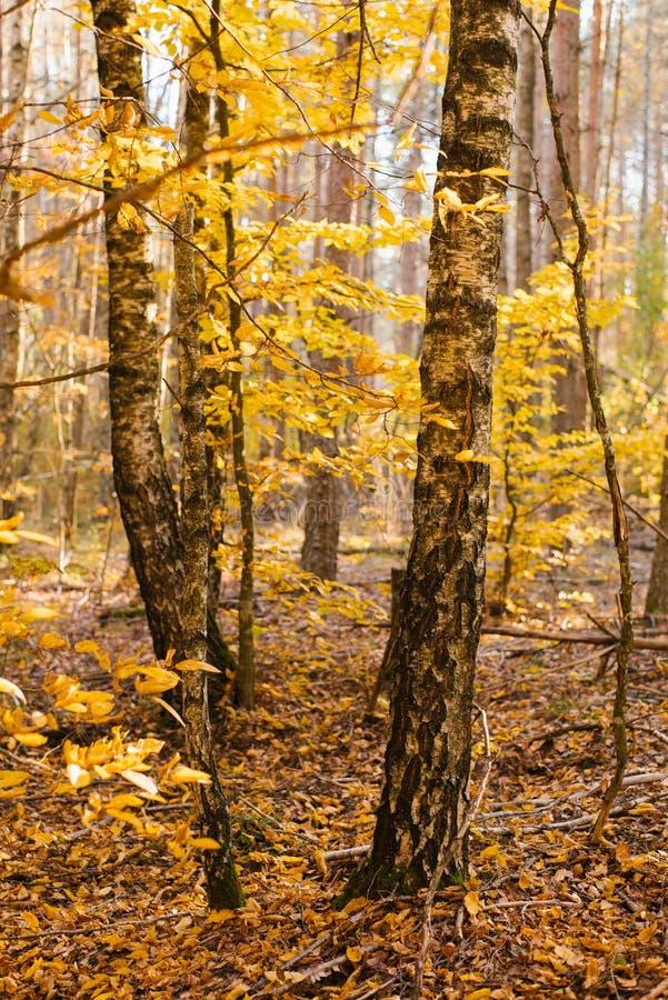 Tronchi dei rami della betulla in autunno fotografia stock libera da diritti