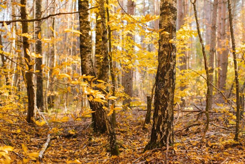 Tronchi dei rami della betulla in autunno fotografie stock libere da diritti