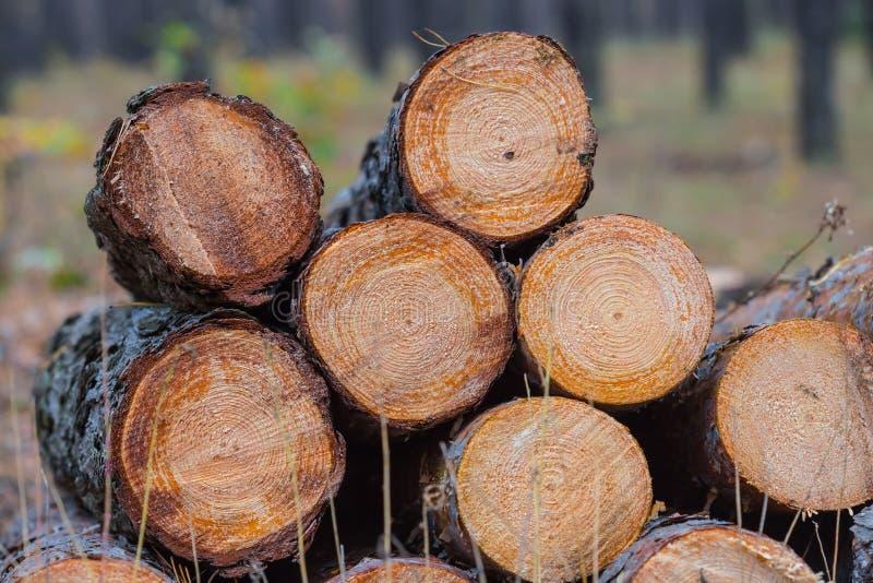Tronchi del pino del primo piano fotografie stock libere da diritti