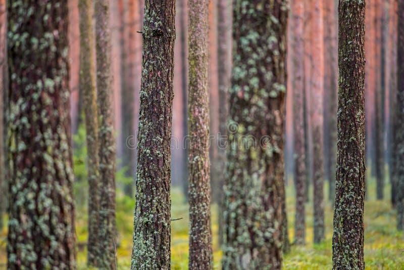 Tronchi dell'albero forestale immagini stock