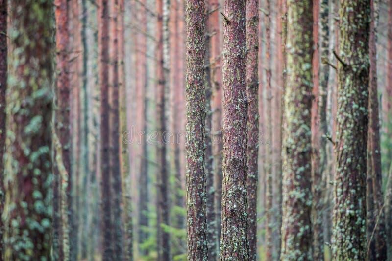 Tronchi dell'albero forestale con muschio fotografie stock libere da diritti