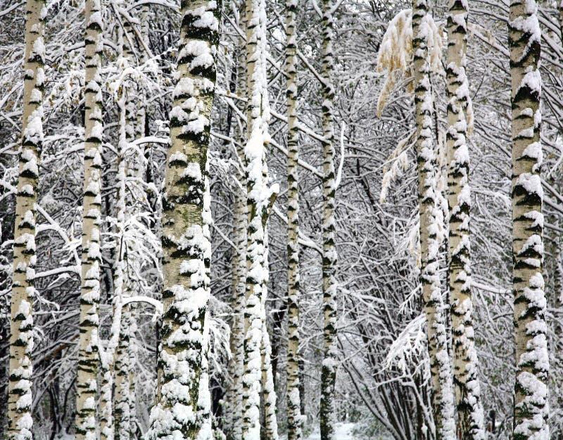 Tronchi della betulla di inverno immagine stock