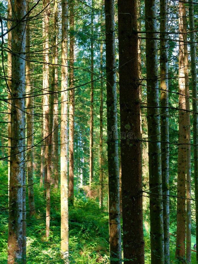 Tronchi della foresta dell'albero fotografia stock