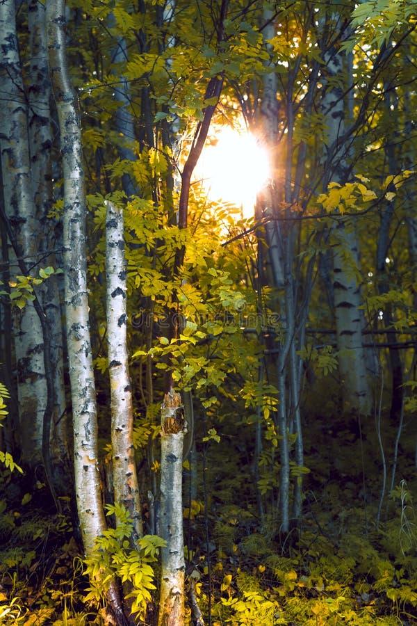 Tronchi delle betulle alla luce solare nella foresta immagine stock
