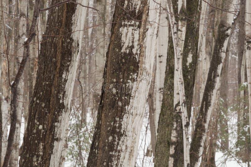 Tronchi di albero astratti dell'acero nell'orario invernale fotografie stock
