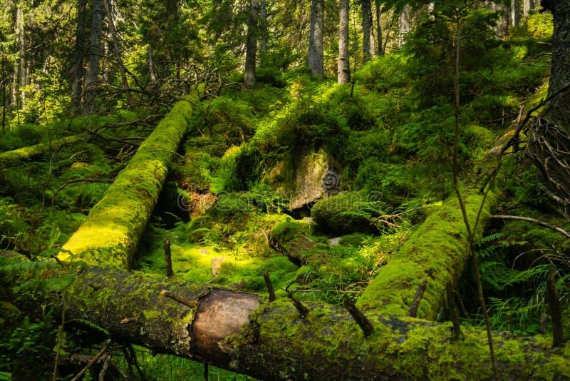Tronchi di albero caduti nella foresta fotografia stock libera da diritti