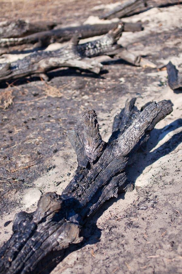 Tronchi di albero carbonizzati dopo fuoco fotografia stock libera da diritti