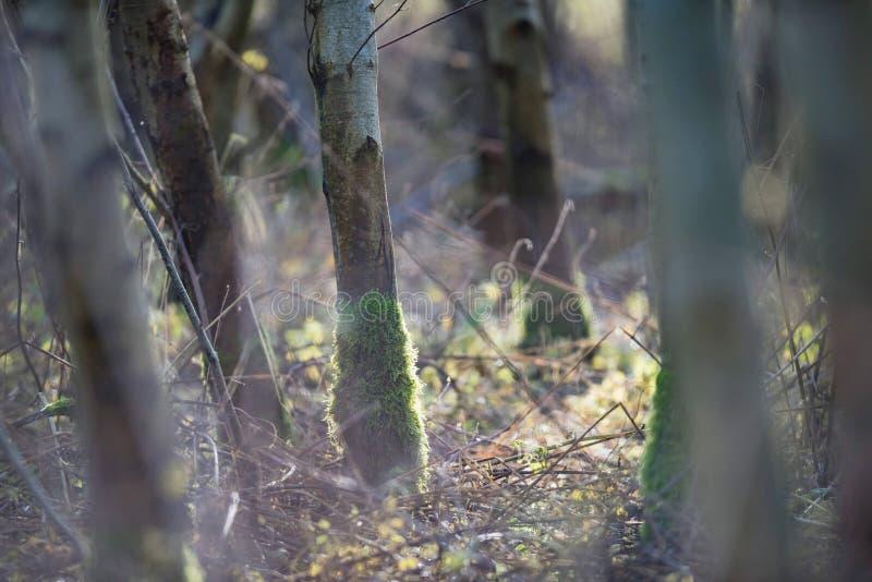 Tronchi di albero con muschio nella foresta della betulla fotografia stock libera da diritti