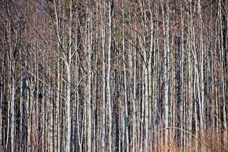 Tronchi di albero del faggio fotografia stock libera da diritti