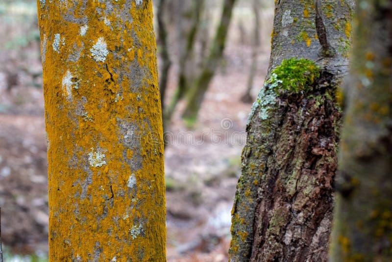 Tronchi di albero del terreno boscoso, muschio arancio, lichene e corteccia strutturata fotografia stock