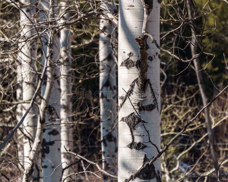 tronchi di albero della betulla in primo piano in anticipo della molla fotografia stock