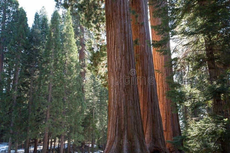 Tronchi di albero della sequoia gigante fotografie stock libere da diritti