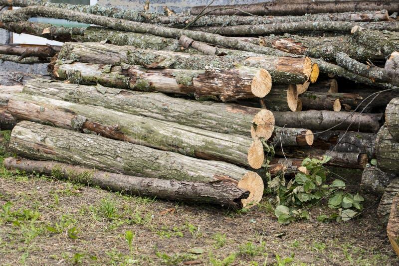 Tronchi di albero enormi fotografia stock libera da diritti