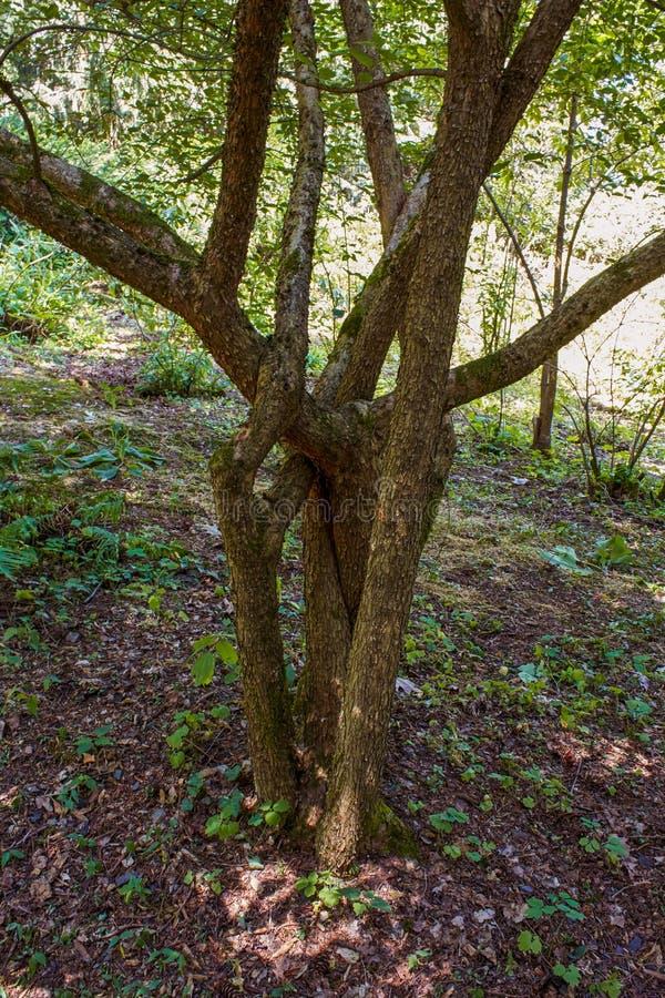 Tronchi di albero intrecciati fotografie stock libere da diritti