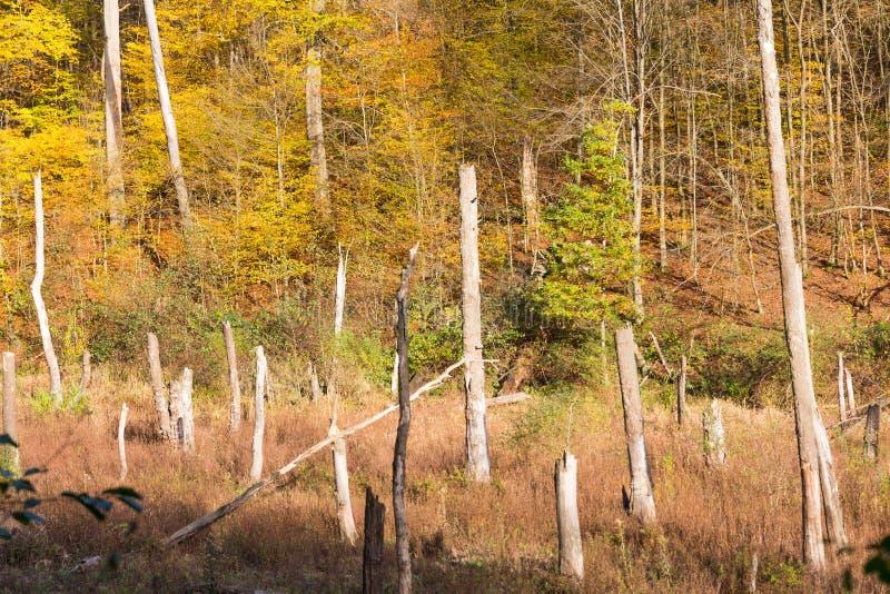 Tronchi di albero morti nell'area naturale di disboscamento ed in alberi viventi fotografia stock