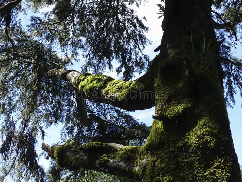 Tronchi di albero muscosi in foresta pluviale fotografie stock