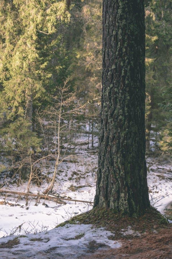 Tronchi di albero soli in foresta di estate - sguardo d'annata del film fotografie stock libere da diritti