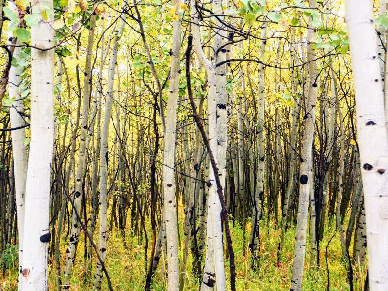 Tronchi di asole in autunno immagini stock