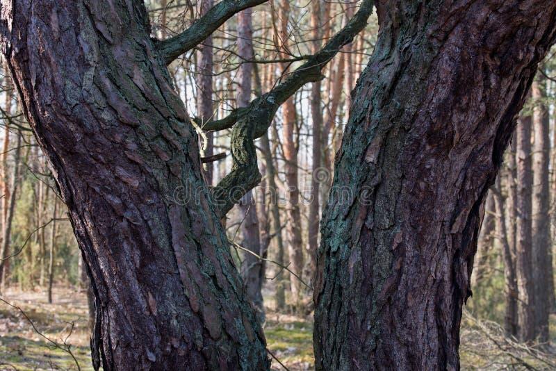 Tronchi di pino in foresta fotografia stock libera da diritti